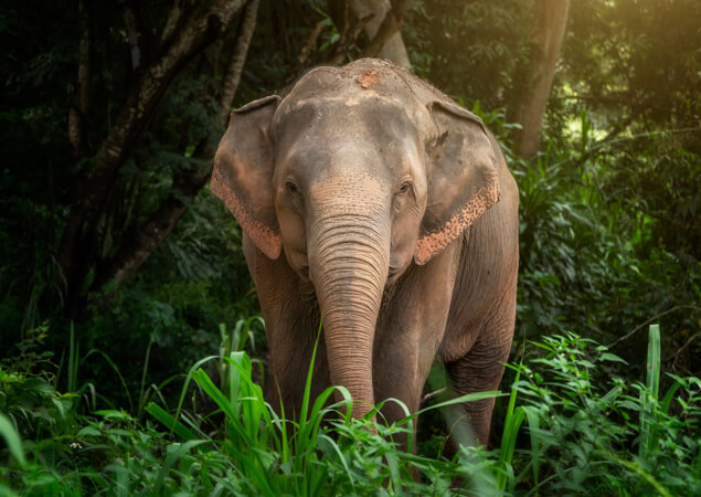 Thai Elephant - The Care Project Foundation - For Thailand Elephant