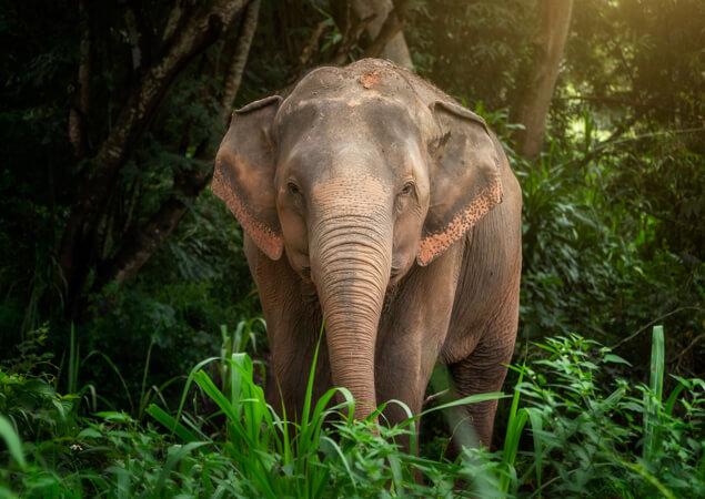 Thai Elephant - The Care Project Foundation - For Thailand Elephant
