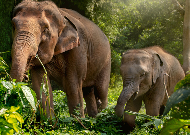 Thai Elephant - The Care Project Foundation